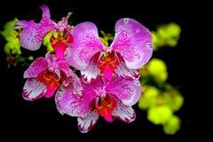 Orquídeas de polilla rosadas contra fondo oscuro fotografía de archivo libre de regalías
