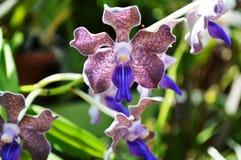 Orquídeas de Sri Lanka fotografia de stock royalty free