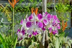 Orquídeas de Vanda Foto de archivo libre de regalías
