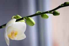 Orquídeas del blanco de la flor Fotografía de archivo libre de regalías