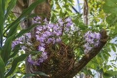 Orquídeas del cepillo de la orquídea Aerides, de la espadaña y de zorro Fotos de archivo
