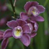 Orquídeas del Cymbidium Foto de archivo