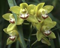 Orquídeas del Cymbidium Fotos de archivo