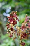 Orquídeas del Cymbidium en el jardín botánico de Singapur fotografía de archivo libre de regalías