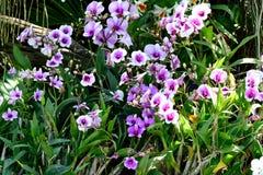 Orquídeas del Dendrobium Imágenes de archivo libres de regalías