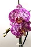 Orquídeas del Phalaenopsis en el fondo blanco Imágenes de archivo libres de regalías