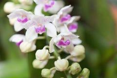 Orquídeas del Wildflower, gigantea de Rhynchostylist imágenes de archivo libres de regalías