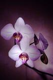 Orquídeas do canto Fotos de Stock Royalty Free