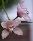 Orquídeas do Cymbidium Foto de Stock Royalty Free