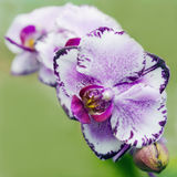 Orquídeas do Phalaenopsis Fotografia de Stock Royalty Free