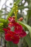 Orquídeas do Rad (Vanda) Fotos de Stock
