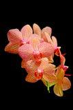 Orquídeas elegantes contra fondo oscuro Fotos de archivo
