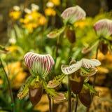 Orquídeas en el fondo coloreado Foto de archivo libre de regalías