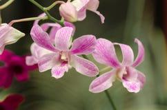 Orquídeas en el jardín de Peradeniya Fotos de archivo libres de regalías