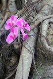 Orquídeas en un árbol, una púrpura y un rosa Fotos de archivo