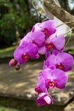 Orquídeas exóticas hermosas del Phalaenopsis fotos de archivo libres de regalías