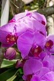 Orquídeas exóticas hermosas del Phalaenopsis fotos de archivo