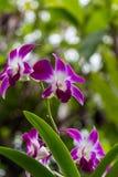 Orquídeas exóticas hermosas del Phalaenopsis foto de archivo libre de regalías