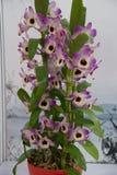 Orquídeas florecientes Foto de archivo