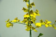 Orquídeas florecientes Foto de archivo libre de regalías