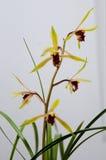 Orquídeas florecientes Fotos de archivo libres de regalías