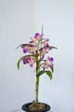 Orquídeas florecientes Fotografía de archivo