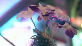 Orquídeas florecientes en piña contra el tiempo ventoso borroso metrajes