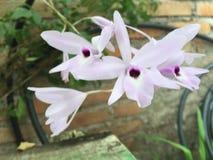 Orquídeas Royalty Free Stock Photo