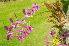 Orquídeas havaianas roxas Imagem de Stock Royalty Free
