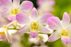 Orquídeas hermosas Imágenes de archivo libres de regalías