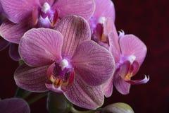 Orquídeas hermosas de la lavanda fotografía de archivo