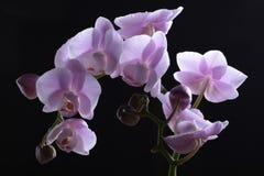 Orquídeas hermosas de la lavanda imagenes de archivo