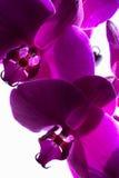 Orquídeas magentas escuras Fotos de Stock Royalty Free