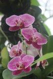 Orquídeas manchadas púrpura Fotos de archivo libres de regalías
