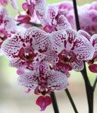 Orquídeas manchados fora Imagens de Stock