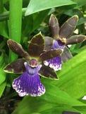 Orquídeas mezcladas azules y negras Imagen de archivo libre de regalías