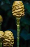 Orquídeas muito raras/sensação ascendente/brandamente etéreo próxima Fotos de Stock
