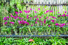 Orquídeas na peça do berçário do jardim Foto de Stock
