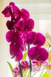 Orquídeas nacionales del color violeta Foto de archivo libre de regalías