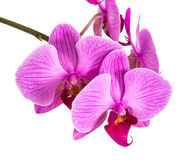 Orquídeas no fundo isolado a flor bonita ramifica orquídeas Fotografia de Stock