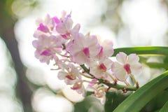 Orquídeas no jardim tailandês Imagens de Stock Royalty Free