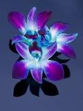 Orquídeas oscuras Fotos de archivo libres de regalías