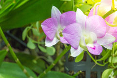 Orquídeas, púrpura de las orquídeas, orquídeas púrpuras Fotos de archivo libres de regalías