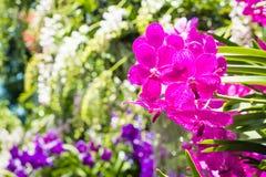 Orquídeas, púrpura de las orquídeas, orquídeas púrpuras Foto de archivo