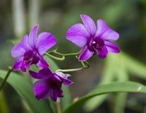 Orquídeas púrpuras Fotografía de archivo