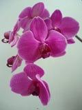 Orquídeas púrpuras foto de archivo
