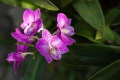 Orquídeas púrpuras Imagen de archivo