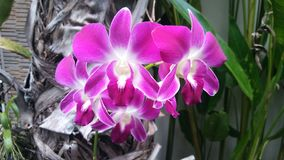 Orquídeas púrpuras fotografía de archivo libre de regalías