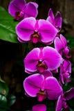 Orquídeas púrpuras brillantes Imagen de archivo