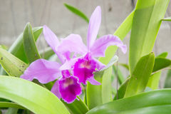 Orquídeas púrpuras en el jardín Imagen de archivo